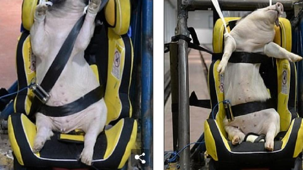 Phẫn nộ cảnh dùng lợn sống làm hình nộm thử tai nạn xe hơi ở Trung Quốc
