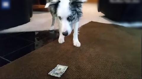 Chó lục túi lấy trộm tiền của bà chủ đem cho ông chủ