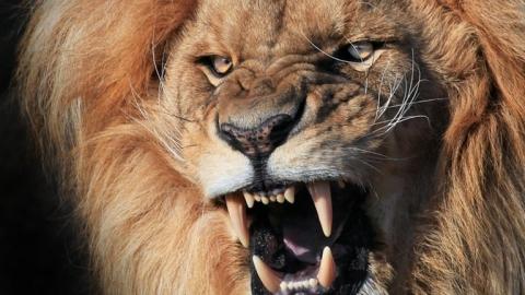 Sư tử mò vàng làng, bí chó nhà đuổi chạy 'cong mông'