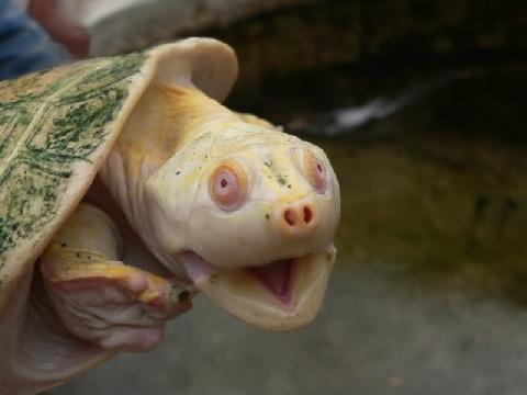 Đẻ ra dị tật, chú rùa bỗng trở nên đắt giá