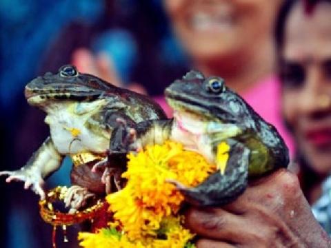 Quái lạ: Nghi lễ đám cưới cho Ếch ở Ấn Độ