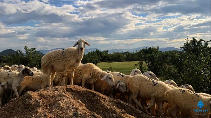 Ở Phan Rang, bạn có thể bắt gặp khung cảnh bầy cừu nhởn nhơ gặm cỏ hai bên vệ đường. Cừu nơi đây có thểxem là giống cừu duy nhất ở Việt Nam.