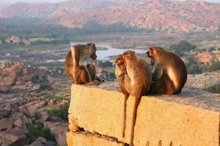 Những chú khỉ dần trở thành mối đe doạ nguy hiểm cho người dân Ấn Độ