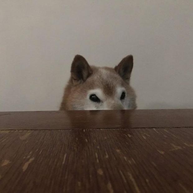 Gặp gỡ cụ chó Shiba Inu 12 tuổi có khuôn mặt siêu khó ở, lúc nào cũng hờn cả thế giới - Ảnh 1.