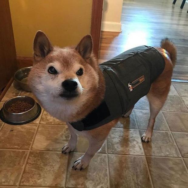 Gặp gỡ cụ chó Shiba Inu 12 tuổi có khuôn mặt siêu khó ở, lúc nào cũng hờn cả thế giới - Ảnh 5.
