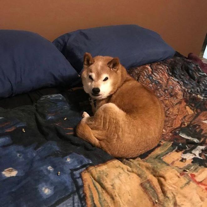 Gặp gỡ 'cụ chó' Shiba Inu 12 tuổi có khuôn mặt siêu khó ở, lúc nào cũng hờn cả thế giới - Ảnh 2.