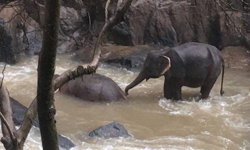 Một con voi tìm cách đánh thức đồng loại đã chết. Ảnh: AFP.