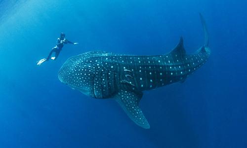 Cá mập voi chủ yếu ăn sinh vật phù du và nhuyễn thể. Ảnh: iGUi Ecologia.
